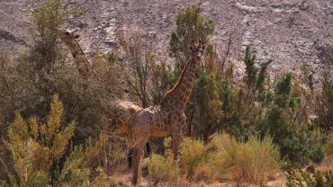 Zwei junge Giraffen